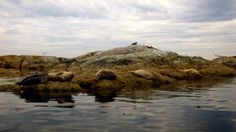 Many Harbour Seals relaxing