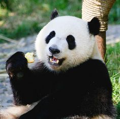 What panda bears eat