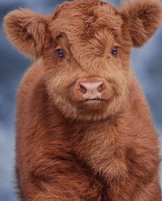 Cows are apparently fuzzy but are the cutest thing ever! Baby Farm Animals, Baby Cows, Cute Little Animals, Cow Pictures, Baby Animals Pictures, Cute Animal Pictures, Cute Baby Cow, Cute Cows, Fluffy Cows
