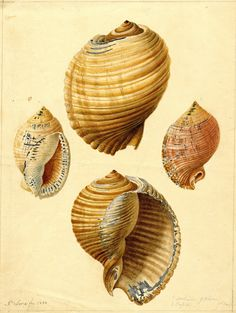 Titled, Dolium galea - So Carolina and Cassis - So Carolina.  Dolium  galea is now called Tonna galea with the common name of tun snail. Illustration by J. Sera, c. 184-6, of the Edmund Ravenel (Charleston, SC) collection. Charleston Museum