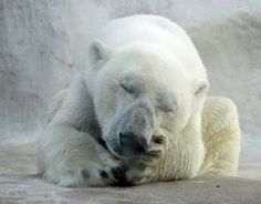 #animal #ice #bear