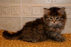 Litter C Album Siberian Kittens, Album, Cats, Animals, Gatos, Animales, Animaux, Animal, Cat