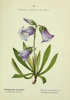 Campanula barbata - Biodiversity Heritage Library