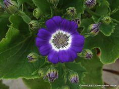 2013年2月 瓜葉菊威尼斯開花了!最先開獎的是這株藍邊白心的