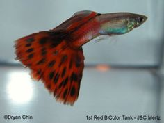 There are more than 35 types of guppy fishes (guppies) across the world. Guppies are the most beautiful and highly demandable fish of the hobbyist. Guppy, Colorful Fish, Tropical Fish, Freshwater Aquarium, Aquarium Fish, Fish Chart, Fish Breeding, Fishing World, Fishing Pictures