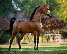 Stival (Gazal Al Shaqab x Paloma De Jamaal) 2006 bay stallion - breeder unknown - Photo: Stuart Vesty
