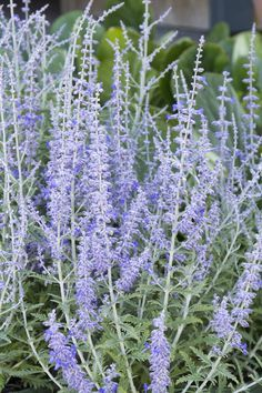 Lacey Blue Russian Sage is easy-going and perfect in schemes from modern to cottage. This variety has been improved so as not flop over in the landscape! Colorful, easy care choice for accent, border or mass planting. Full sun. Zone: 4 – 10