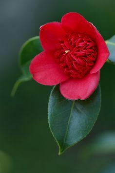 Cardinal's Cap Camellia.