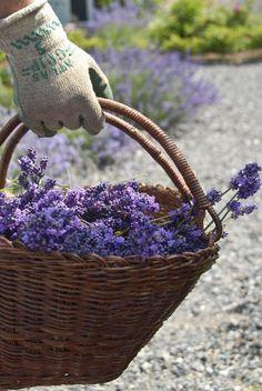 Atlas Grip Gloves - and a fragrant basket of lavender. Lavender Cottage, Lavender Garden, French Lavender, Lavender Blue, Lavender Fields, Lavender Flowers, Purple Flowers, Lavender Hedge, Growing Lavender