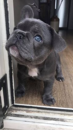 My baby Margot blue French bulldog puppy! Just one ear up #frenchbulldogpuppy