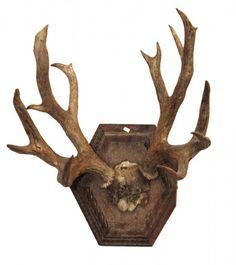 TAXIDERMIA - Troféu de caça de chifre de alce afixado sobre placa de madeira. Falta entalhes na placa. Med.: 60 cm de altura X 30 cm de largura.