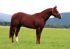 The American Quarter Horse excels at sprinting short distances. Its name came from its ability to outdistance other breeds of horses in races of a quarter mile or less. It is the most popular breed in the United States today. This breed is known both as a race horse & for its performance in rodeos, horse shows, & as a working ranch horse. Its compact body is well-suited to the intricate and speedy maneuvers of western riding events. It is also shown in English disciplines.