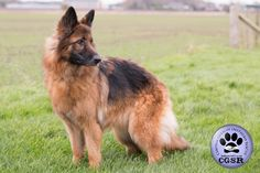 Central German Shepherd Rescue wishes Maya, a 7 year old female German Shepherd best wishes in her adoption from CGSR. Female German Shepherd, German Shepherd Rescue, German Shepherds, Maya, United Kingdom, Corgi, Corgis, England, German Shepherd Dogs