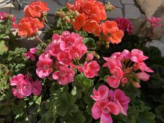 Vibrant geraniums on the terrace