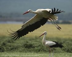 Gallery of White Stork (Ciconia ciconia) Flight Feathers, Red Bill, Heron, Birds, Storks, Crane, Internet, Gallery, Collection