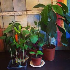 De plantjes groeien goed!! ☀️ #tuin #tuinierenisfijn #makkelijkemoestuin #moestuin #zaden #zaaien #biologisch #groenten #fruit #gezondeten #gezondleven #gezondkoken #koken #cleaneating #healthyeating #kinderen #lerentuinieren #weetwatjeeet