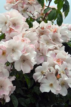 Sally Holmes' Heady fragrance and generous bloom over a very long season. Reaches about 6' high and 5' wide if left alone to grow as shrub. If trained as a climber, it can reach 12 feet high. Tolerant of some shade. Is nearly thornless. Vigorous. Enjoy it for decades to come. Zones 5-9.
