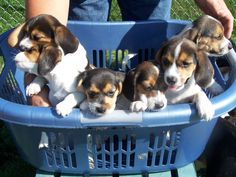 beagle puppies:)