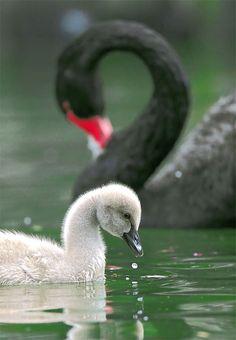 Black Swan and cygnet taken at Wuling Farm, Taichung County, TAIWAN