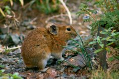 Pika-wildlife found in Gobi tour