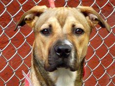 SAFE RTO - 7/15/13 Manhattan Center KATANA - A0971952 (Formerly My name is QUINTANA. My Animal ID # is A0967501 )  **RETURNED 7/15/13**  FEMALE, BR BRINDLE / WHITE, PIT BULL MIX, 8 mos https://www.facebook.com/photo.php?fbid=623292181016998=a.617942388218644.1073741870.152876678058553=1