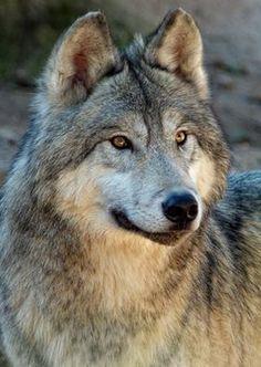 Gigi Ghostwolf Shared Wolf Attitude Photo