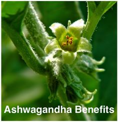 Benefits of Ashwagandha || a tonic for the nervous system, an immunodmodulator, protector of the heart + reliever of anxiety || by Methow Valley Herbs