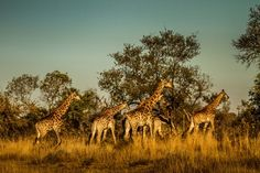 African Nature at Kruger Park in South Africa South Africa Art, Maputo, Giraffe, Wildlife, Fans, African, Nature, Photography, Animals
