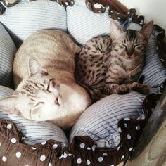 Amontoado é mais gostoso... :-) #savannah #savannahcat #cat  #pet #instacat #instapet #nofilter - @webtoc- #webstagram