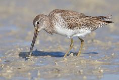 Short-Billed Dowitcher (Florida, USA)