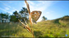 great Dimensions !  LAOWA 15mm  f4 1:1 - wide angle macro lens Blue Butterfly, Wide Angle, Lens, Photos, Macro Photography, Macros, Cameras, Nature, Animals