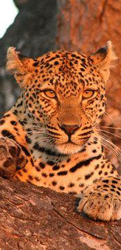 Experience a luxury safari in South Africa at Ulusaba, Sir Richard Branson's Private Safari Game Reserve. Amphibians, Mammals, Reptiles, Animals And Pets, Cute Animals, Wild Animals, Safari Game, Private Safari, Game Reserve