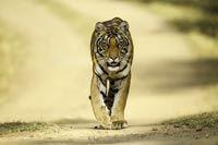 Die Dschungel-Lodge Bandhav Vilas ermöglicht einen luxuriösenund authentischen Aufenthalt im Nationalpark Bandhavgarh: Heimat des Bengalischen Königstigers.