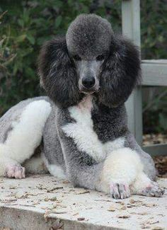 Poodle Dogs What do you think of the different colours of a parry poodle? Better then a single coloured poodle? Have you ever owned one? Poodle Cuts, Poodle Mix, Poodle Puppies, Poodle Grooming, Dog Grooming, I Love Dogs, Cute Dogs, Poodles, Beautiful Dogs