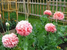 Giant Double Cream peony poppy seeds - Garden Seeds - Annual Flower