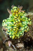 Nudibranchs are shell-less marine molluscs that live in seas around the world. They have external gills (frond-like) that give the nudibranch its name, meaning naked gills. Underwater Creatures, Underwater Life, Beautiful Sea Creatures, Animals Beautiful, Fauna Marina, Sea Slug, Water Animals, Tier Fotos, Sea And Ocean