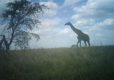 I just classified this image on Snapshot Serengeti!