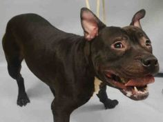 ♡ MY LIFE MATTERS ♡ BOOM – A1059893 **DOH – B 12/7/15** MALE, BLACK / WHITE, AM PIT BULL TER MIX, 1 yr OWNER SUR – ONHOLDHERE, HOLD FOR DOH-B Reason PERS PROB Intake condition EXAM REQ Intake Date 12/07/2015, From NY 10030, DueOut Date12/17/2015