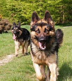 GDS - German Shepherd Dog.