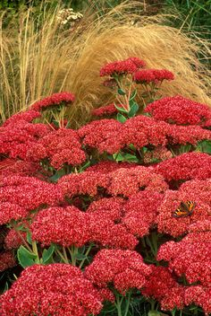 stonecrop (syn Autumn Joy) Sedum '(Herbstfreude Group) Herbstfreude': 60cm - sun - aug-sept (changes pink to red) - hardy but chelsea chop - £8