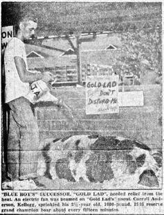 "Iowa State Fair swings back to prewar pace: ""Blue Boy's"" successor, ""Gold Lad,"" August 29, 1947 | The Daily Iowan Historic Newspapers | Iowa Digital Library"