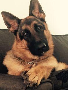 German Shepherd ~ Classic Look