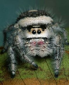 Ready for her closeup :) The Jumping Spider (Salticidae) Cool Insects, Bugs And Insects, Animal Original, Spiders And Snakes, Cool Bugs, Itsy Bitsy Spider, Jumping Spider, Beautiful Bugs, Rare Animals