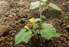 Ako pestovať uhorky a vyťažiť tak z uhorkovej sezóny maximum - Záhrada.sk Plants, Compost, Plant, Planets