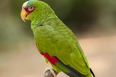 White Fronted Amazon Parrots as Pets - Species Profile