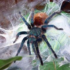 The Green Bottle Blue Tarantula - Chromatopelma cyaneopubescens, adult female