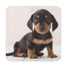 Miniature Dachshund With Images Miniature Dachshund