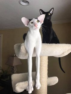 Risultati immagini per oriental shorthair I Love Cats, Crazy Cats, Cool Cats, Sphynx, Pretty Cats, Beautiful Cats, Cute Funny Animals, Funny Cats, Dobby Cat