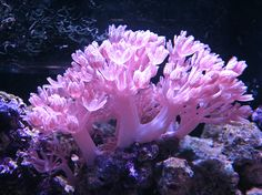 Xenia coral, moves, pulses by itself, nice pink addition to tank.