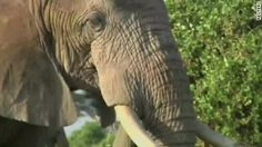 Officials: Cyanide has killed 22 more elephants in Zimbabwe, adding to a poaching trend that a source says has poisoned 78 elephants in the country this month.